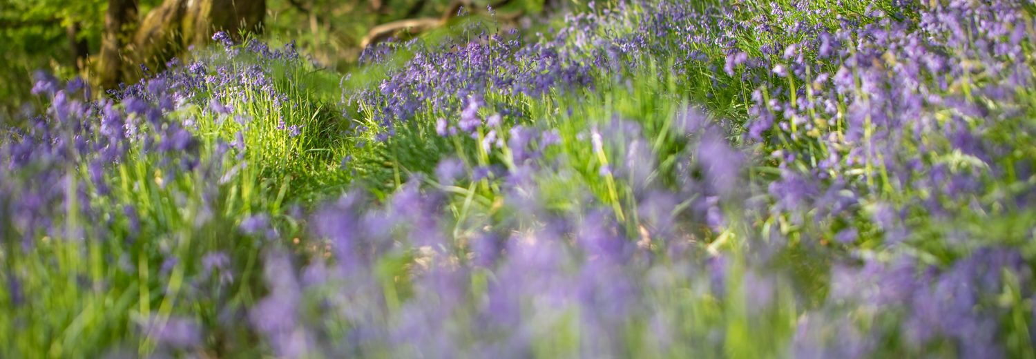 Bluebell wood for Natur Cymru home page by Sorcha Lewis