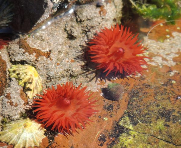 Image of anenomes in Wales