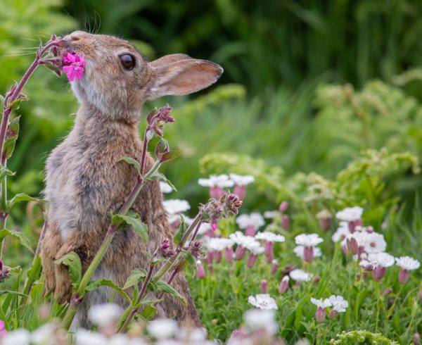 Rabbit in campion Sorcha Lewis