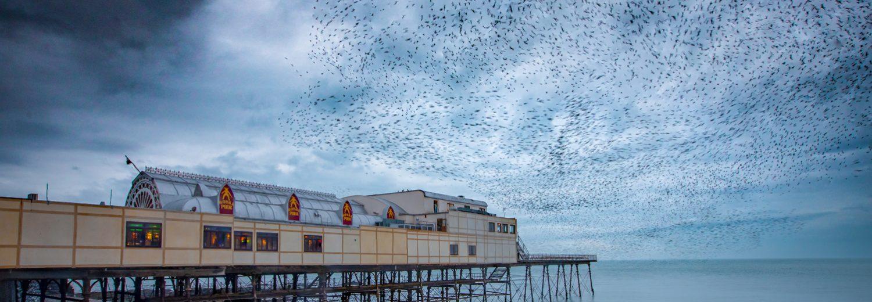 starling murmuration aberystwyth pier