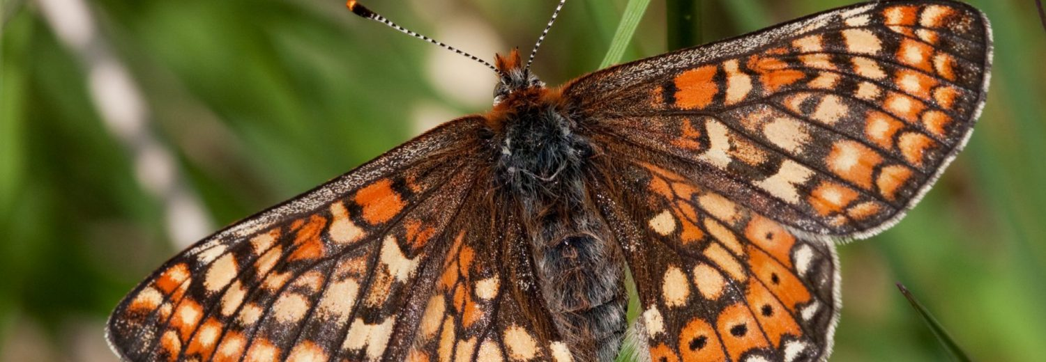 Marsh Fritillary. Photo Vaughn Matthews