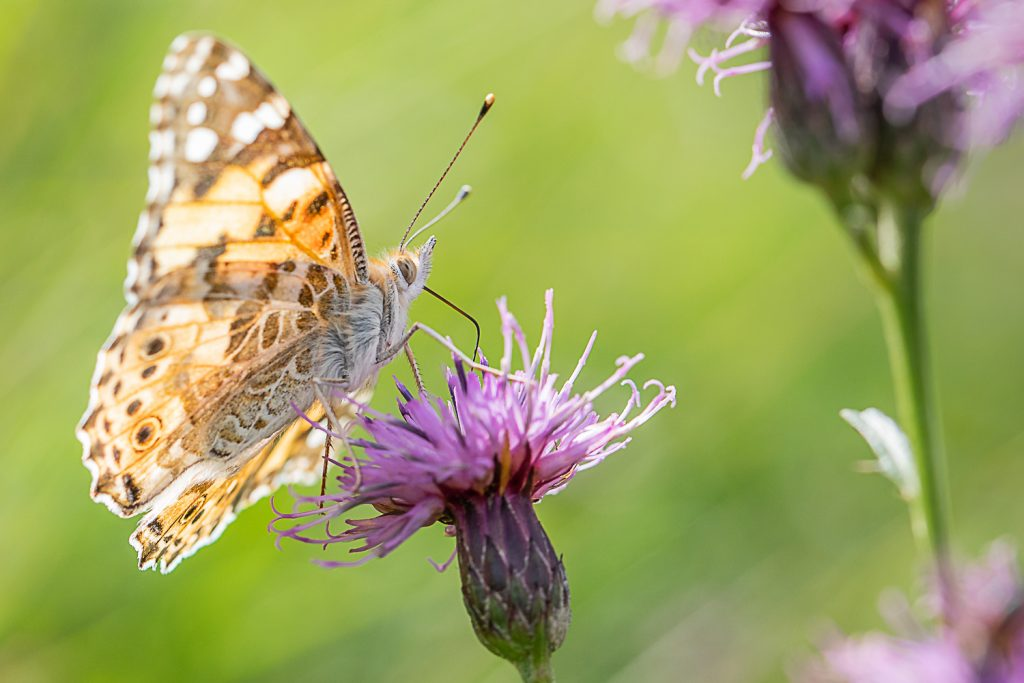 Painted Lady by Sorcha Lewis
