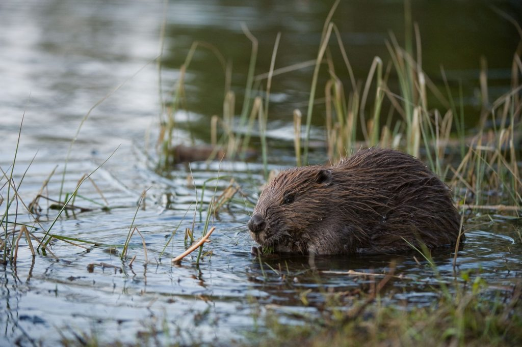 Beaver. Allard Martinius