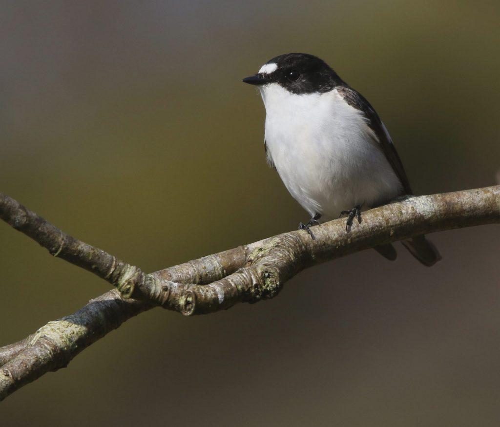 Male-Pied-Flycatcher: photo Jeff Slocombe