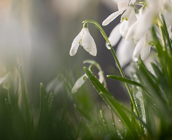Snowdrop by Sorcha Lewis to show how precious our wildlife is