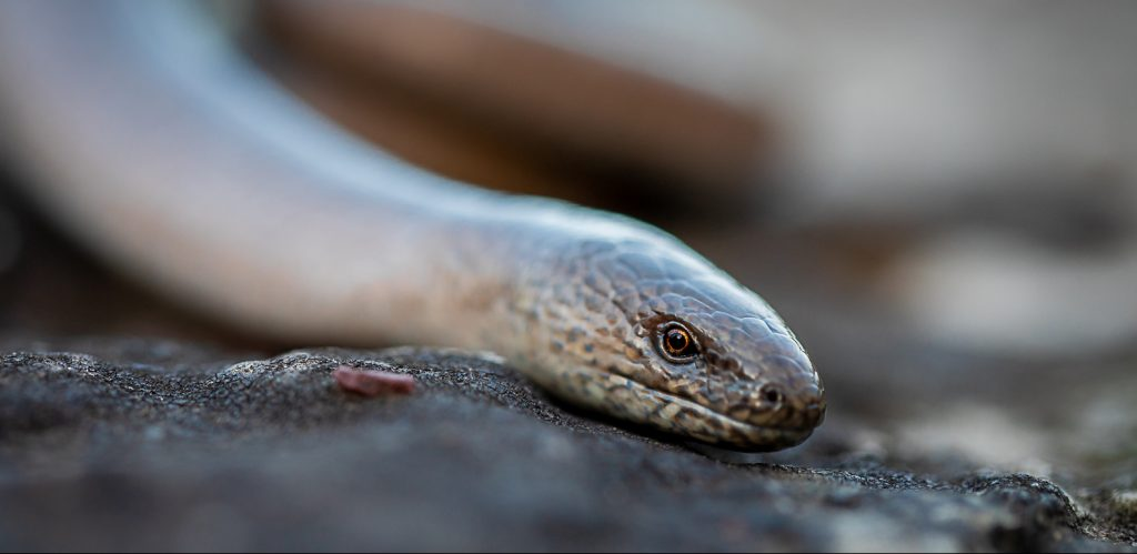 slow worm by Sorcha Lewis