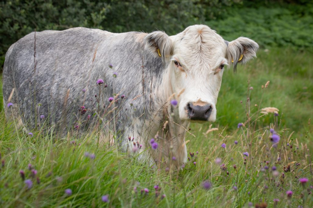 Cattle Grazing Rhos Pasture