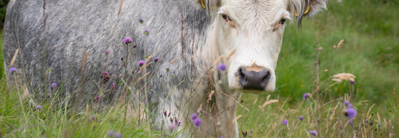 Cattle Grazing Rhos Pasture