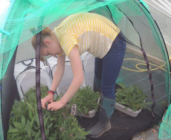 Volunteer Katie Ritchie checking the Marsh Fritillary rearing pen